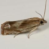 2908-16 - Phaneta radiatana-formosana group