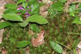 Wood Frog - Lithobates sylvaticus