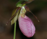 Pink Ladyslipper - Cypripedium acaule