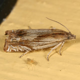 2908-16 - Phaneta radiatana-formosana