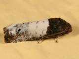 3186 - Goldenrod Gall Moth - Epiblema scudderiana