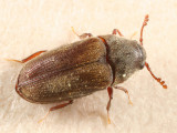 False Metallic Wood-boring Beetles - Throscidae