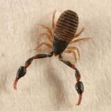 Chernetidae - Wyochernes sp.
