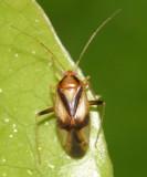 Neolygus vitticollis