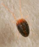 Spider Mite - Tetranychidae - Bryobiinae - Bryobia sp.