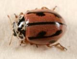 Lady Beetles - Genus Mulsantina