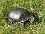 Blanding's Turtle - Emydoidea blandingi