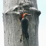 Red-bellied Woodpecker - Melanerpes carolinus (male at the nest cavity)