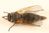 Symphoromyia hirta (female)