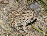 Fowler's Toad - Anaxyrus fowleri