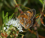Harris' Checkerspot - Chlosyne harrisii