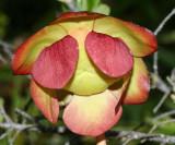 Northern Pitcher Plant - Sarracenia purpurea