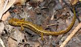Long-tailed Salamander -  Eurycea longicauda