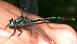 Lilypad Clubtail - Arigomphus furcifer