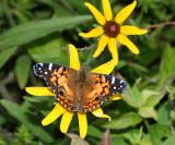 New York & New Jersey Butterflies