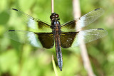 Widow Skimmer - Libellula luctuosa (male)