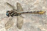 Lancet Clubtail - Gomphus exilis (male)