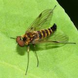 Chrysopilus fasciatus