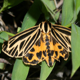 8175 - Little Virgin Tiger Moth - Grammia virguncula
