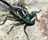 Sable Clubtail - Gomphus rogersi (male)
