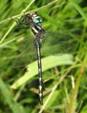 Delta-Spotted Spiketail - Cordulegaster diastatops (male)