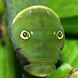 Eastern Tiger Swallowtail caterpillar - Papilio glaucus