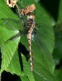 Stygian Shadowdragon - Neurocordulia yamaskanensis