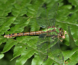 Rusty Snaketail - Ophiogomphus rupinsulensis