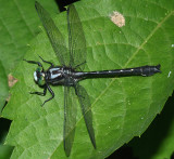 Mustached Clubtail - Gomphus adelphus (male)