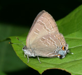 Hickory Hairstreak - Satyrium caryaevorum