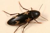 False Darkling Beetles - Melandryidae