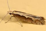 2366 - Diamondback Moth - Plutella xylostella