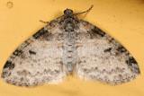 7640 - Powdered Bigwing - Lobophora nivigerata