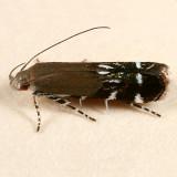 2241 - Anacampsis levipedella