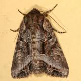 10300 - Lacanobia grandis