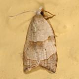 3747 - The Batman Moth - Coelostathma discopunctana