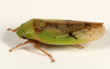 Leafhoppers genus Ponana