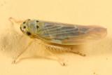 Macrosteles parvidens (light form)