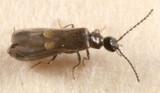 Malthodes sp.