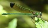 Sparkling Jewelwing - Calopteryx dimidiata