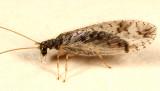 Micromus variegatus