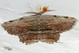 6720 -- Common Lytrosis Moth -- Lytrosis unitaria