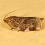 3632 -- Broken-banded Leafroller -- Choristoneura fractivittana