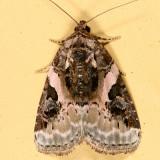 9053 - Pink-barred Pseudeustrotia - Pseudeustrotia carneola