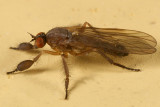 Dance Flies - Empididae