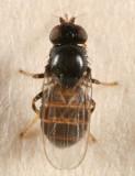 Oscinellinae