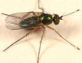 Dolichopus eudactylus group