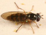 Syrphid Flies - tribe Bacchini