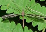Tipula - subgenus Yamatotipula