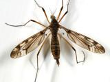 Tipula fuliginosa